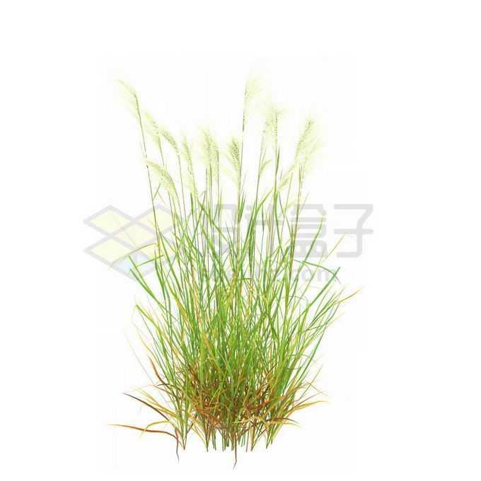 一款3D渲染的类芦杂草丛观赏植物绿植6243143免抠图片素材