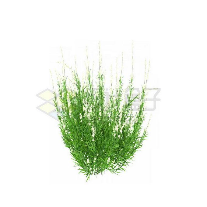 一款3D渲染的天门冬野草丛茅草观赏植物绿植3835697免抠图片素材 生物自然-第1张