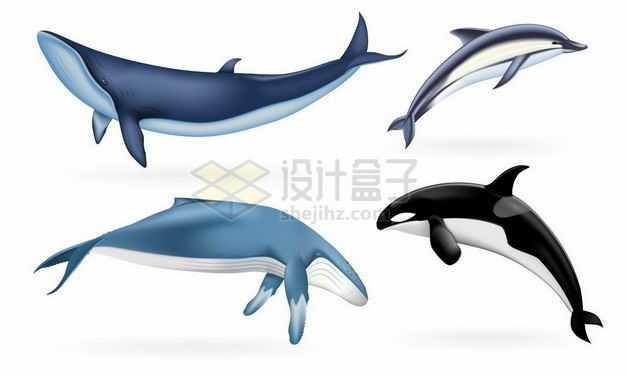 巨大的蓝鲸座头鲸须鲸海豚虎鲸等海洋哺乳动物9066766矢量图片免抠素材