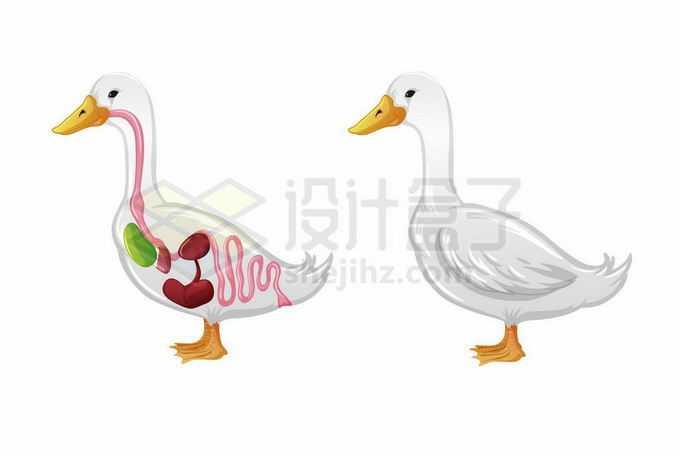 鸭子内脏器官解剖图8661298矢量图片免抠素材免费下载