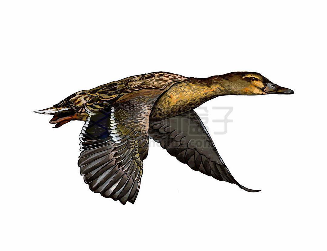 一只振翅飞行中的鸭子野鸭鸟儿3385573矢量图片免抠素材