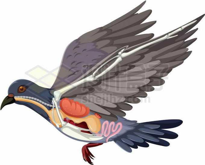 飞行中鸽子内脏器官解剖图4265378矢量图片免抠素材免费下载