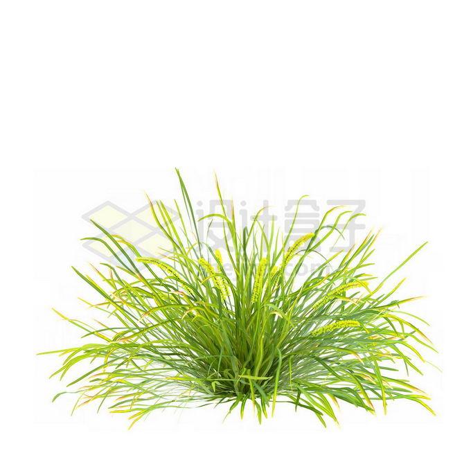 青绿色的菖蒲狗尾巴草草本植物野草丛茅草3188287免抠图片素材 生物自然-第1张