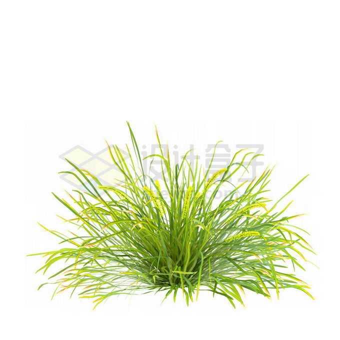 青绿色的菖蒲狗尾巴草草本植物野草丛茅草3188287免抠图片素材