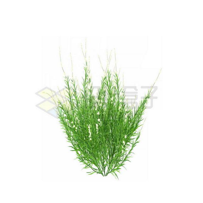一款3D渲染的天门冬野草丛茅草观赏植物绿植5007415免抠图片素材 生物自然-第1张