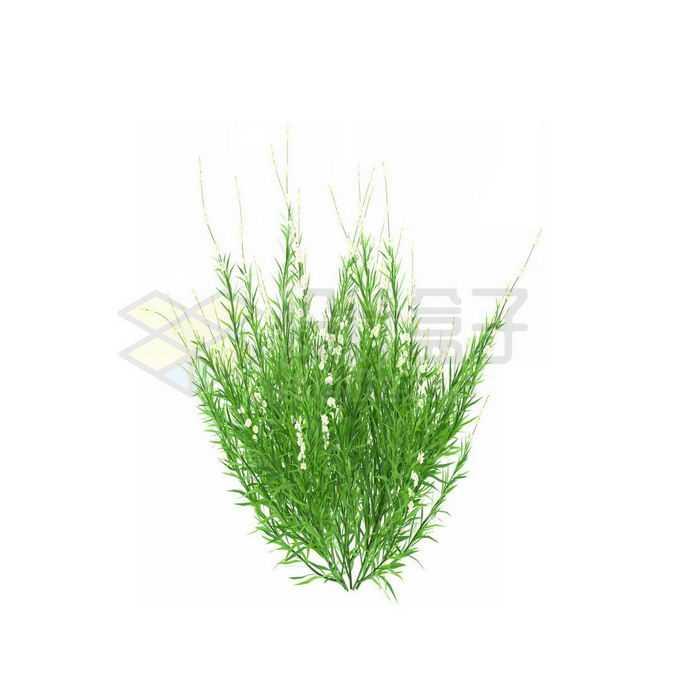 一款3D渲染的天门冬野草丛茅草观赏植物绿植5007415免抠图片素材
