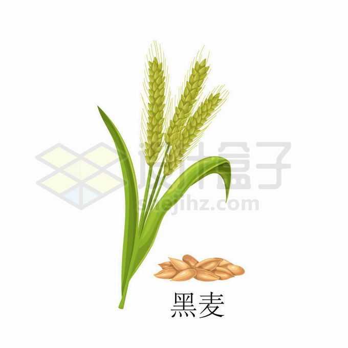 黑麦种子粮食农作物彩绘配图1477465矢量图片免抠素材