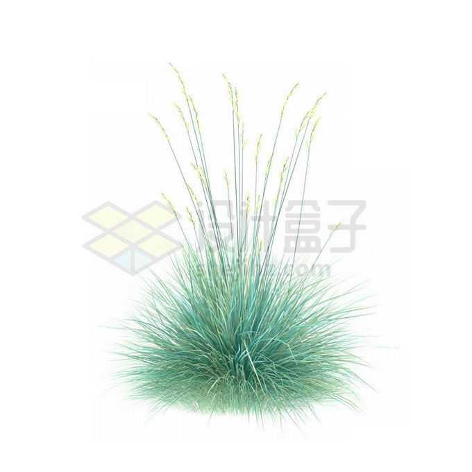 一款3D渲染开花的蓝羊茅细叶芒杂草丛观赏植物绿植1599357免抠图片素材