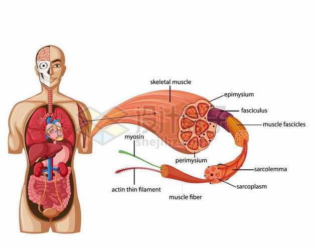 人体内脏组织器官解剖图和肌肉组织结构9927040矢量图片免抠素材
