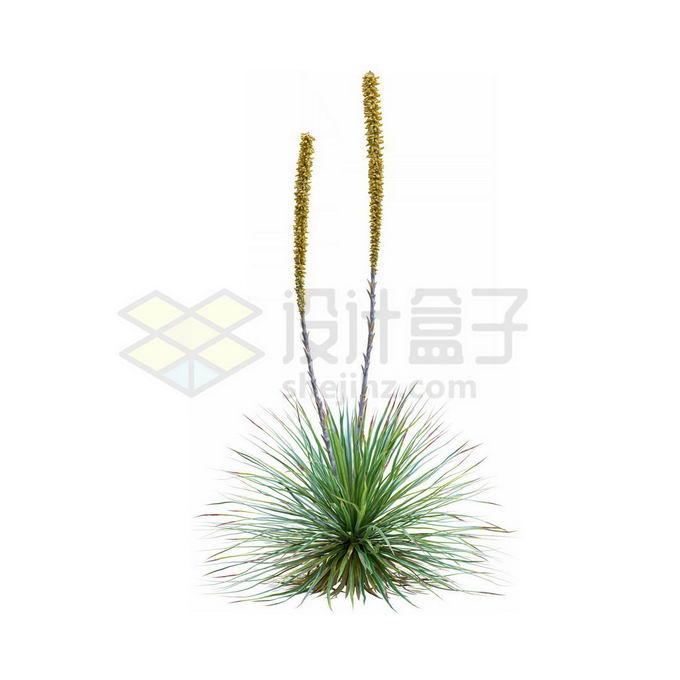 一款3D渲染的开花丝兰观赏植物绿植5536642免抠图片素材 生物自然-第1张