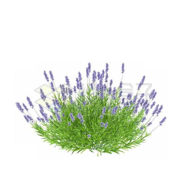 薰衣草香水植物草丛1180306免抠图片素材