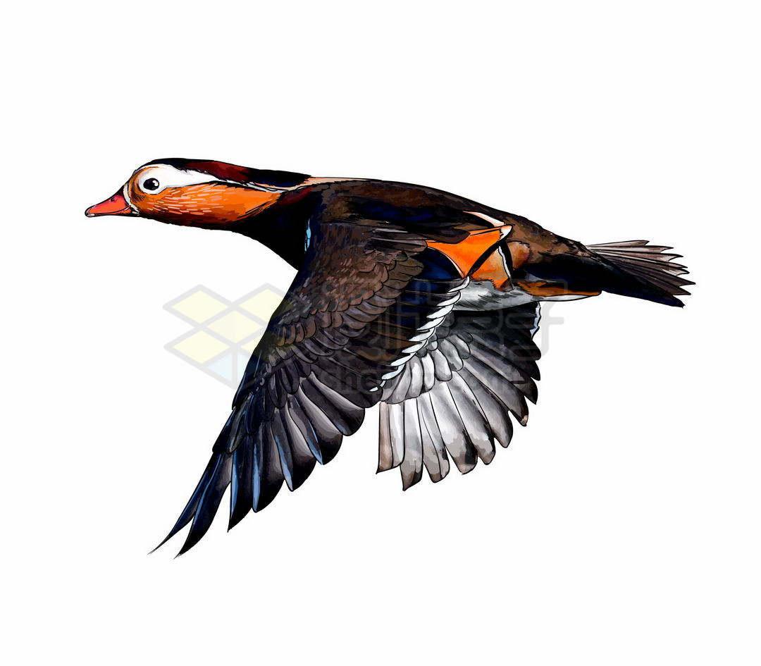 一只振翅飞行中的鸳鸯鸟儿3685987矢量图片免抠素材