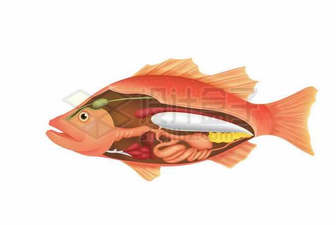 一条鱼内脏器官解剖图2867510矢量图片免抠素材免费下载