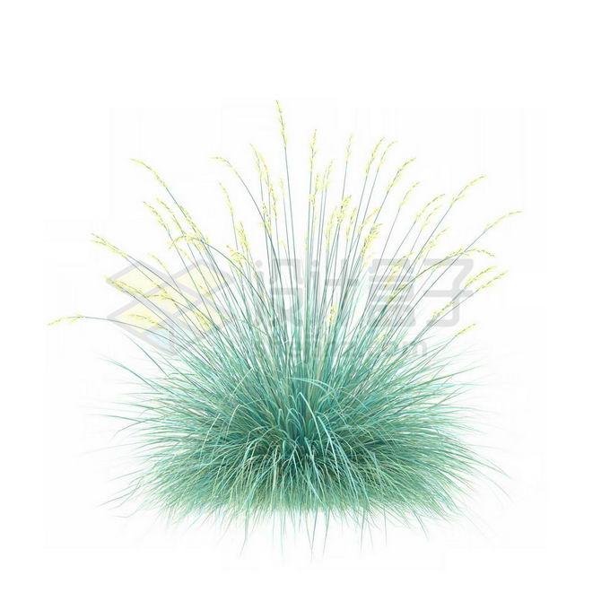 一款3D渲染开花的蓝羊茅细叶芒杂草丛观赏植物绿植3931672免抠图片素材 生物自然-第1张