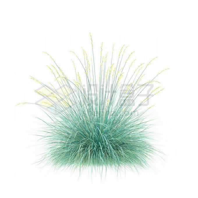 一款3D渲染开花的蓝羊茅细叶芒杂草丛观赏植物绿植3931672免抠图片素材