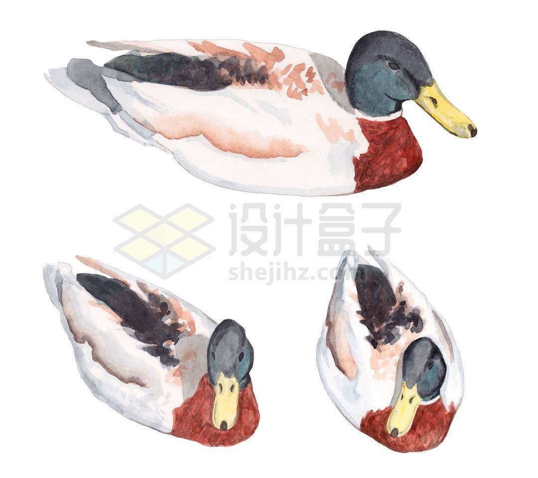 3个不同角度的鸭子野鸭野生动物9598802矢量图片免抠素材