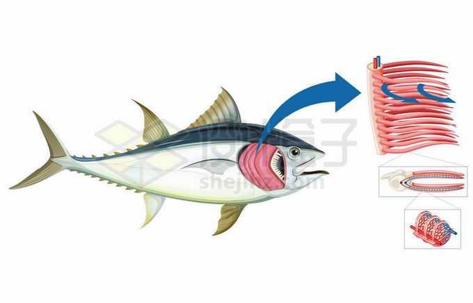鱼的呼吸器官鱼鳃工作原理和结构图5064789矢量图片免抠素材免费下载