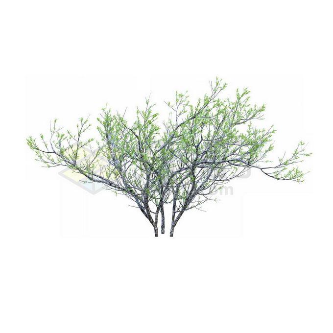 一款3D渲染的银杉小树苗观赏植物绿植2239797免抠图片素材 生物自然-第1张
