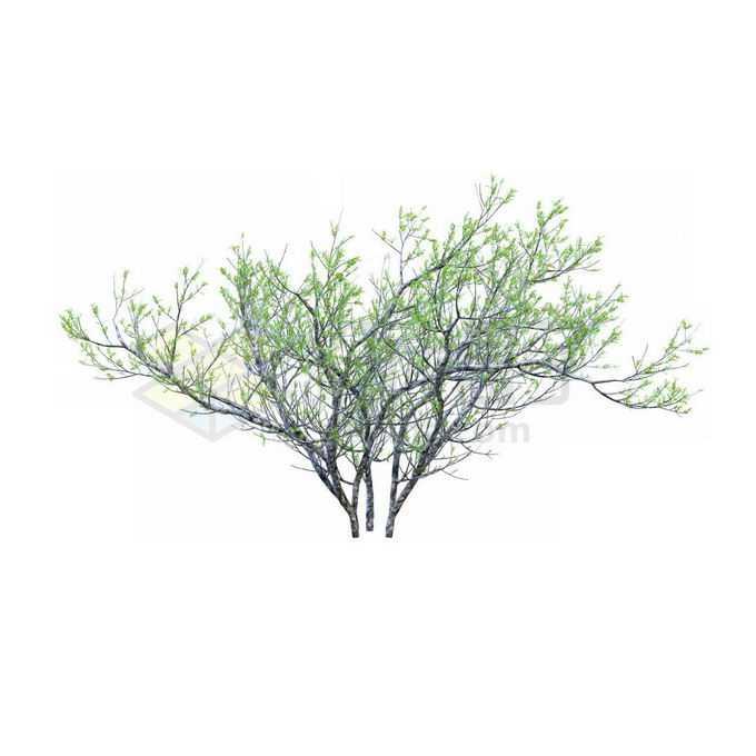 一款3D渲染的银杉小树苗观赏植物绿植2239797免抠图片素材