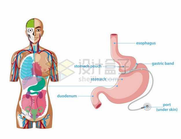 人体器官组织结构解剖图和胃部胃束带手术8661539矢量图片免抠素材