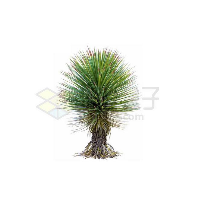 一款3D渲染的丝兰观赏植物绿植2711477免抠图片素材 生物自然-第1张