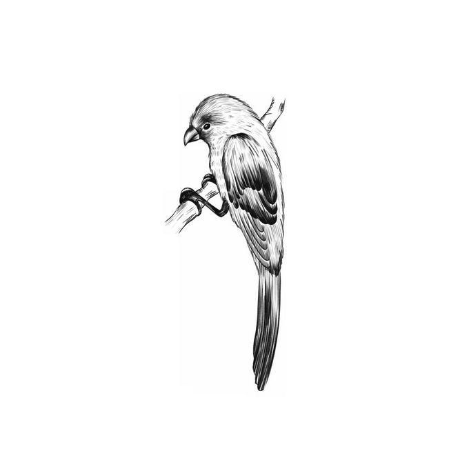 枝头上的麻雀小鸟手绘素描插画1218417免抠图片素材 生物自然-第1张
