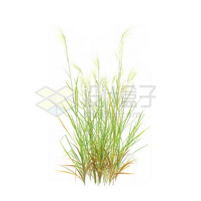 一款3D渲染的类芦杂草丛观赏植物绿植6879495免抠图片素材 生物自然-第1张