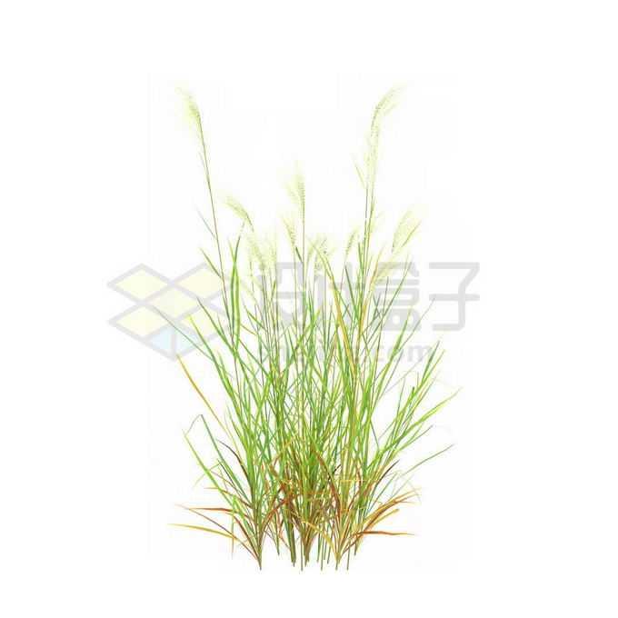 一款3D渲染的类芦杂草丛观赏植物绿植6879495免抠图片素材