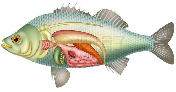 鲫鱼内脏器官解剖图8980177矢量图片免抠素材免费下载