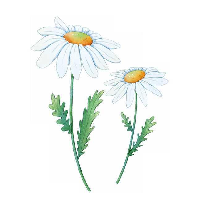 两朵盛开的白色野菊花4310033矢量图片免抠素材免费下载