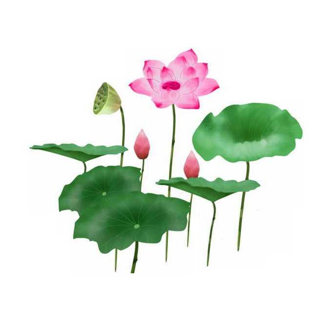 盛开的荷花和翠绿色的荷叶以及莲蓬2284728矢量图片免抠素材免费下载
