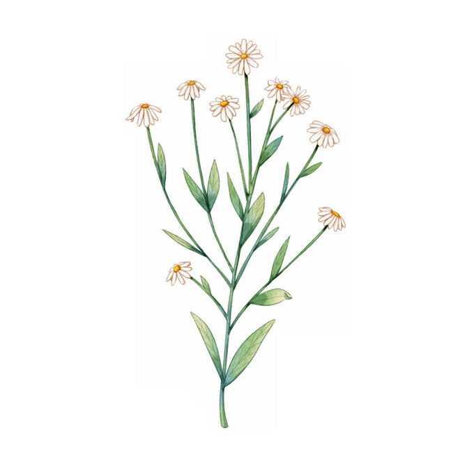 盛开的紫菀野花水彩插画3568052矢量图片免抠素材免费下载