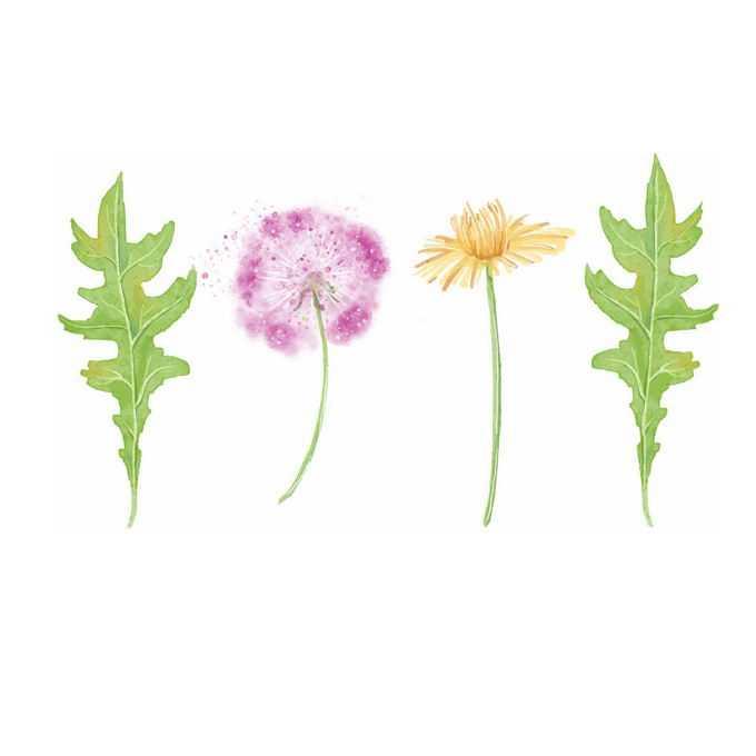 蒲公英的叶子花朵以及花絮6049881矢量图片免抠素材免费下载