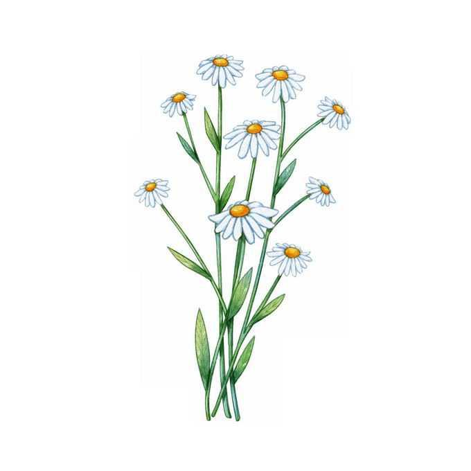 盛开的白晶菊野菊花小野花手绘插画1570091矢量图片免抠素材免费下载