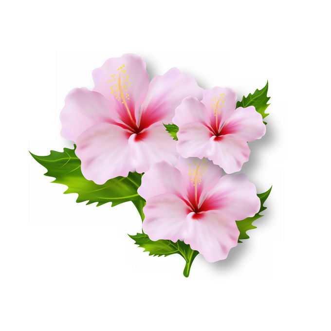 3朵盛开的木槿粉色花卉2828076矢量图片免抠素材免费下载