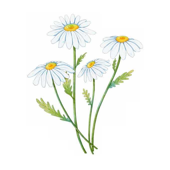 盛开的大滨菊野菊花美丽花朵水彩插画9659278矢量图片免抠素材免费下载