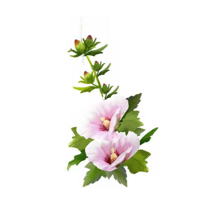 盛开和含苞待放的木槿美丽花朵5485271矢量图片免抠素材免费下载