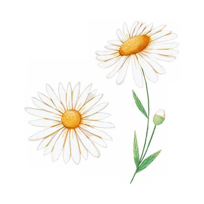 盛开的白晶菊美丽菊花手绘插画6844557矢量图片免抠素材免费下载