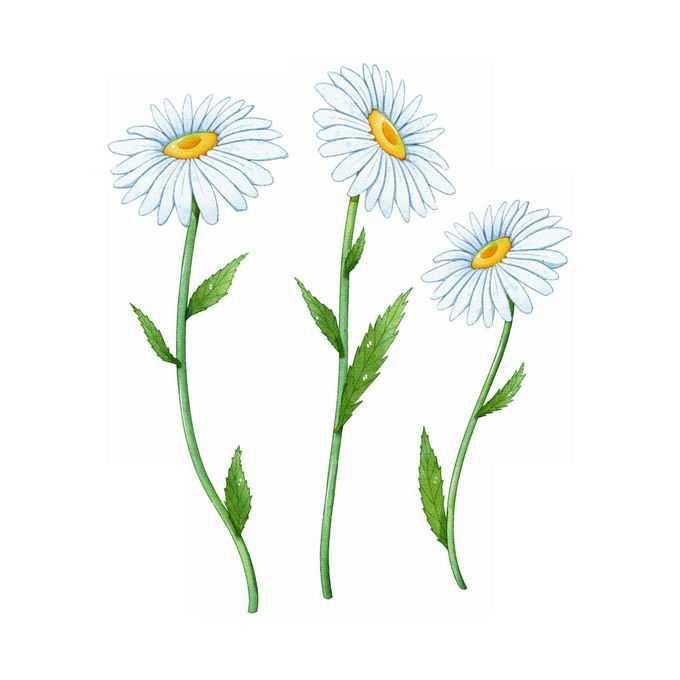 3朵盛开的大滨菊野菊花美丽花朵鲜花插画4069702矢量图片免抠素材免费下载