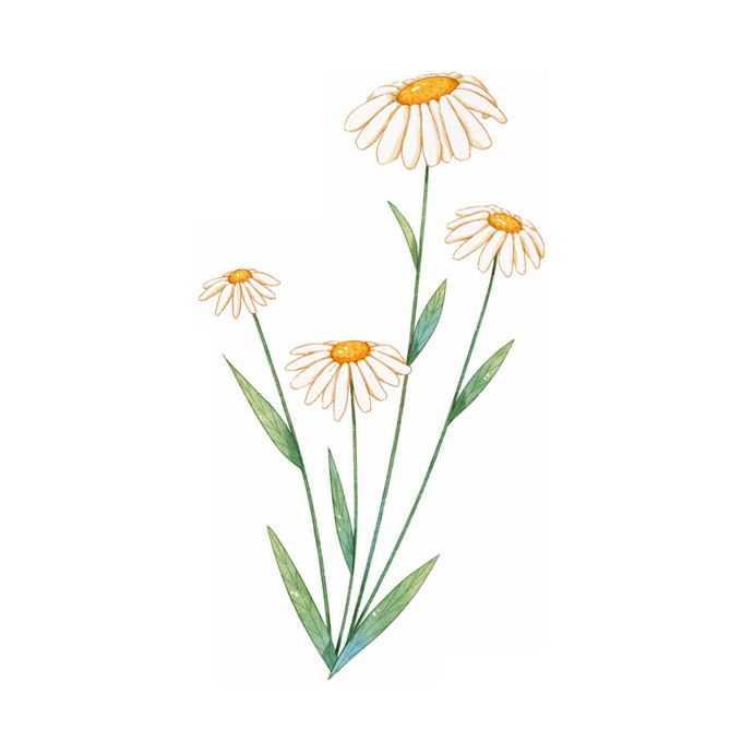 盛开的淡黄色野菊花大滨菊3416558矢量图片免抠素材免费下载
