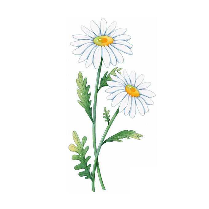 带叶子的大滨菊野菊花白色小花4876988矢量图片免抠素材免费下载