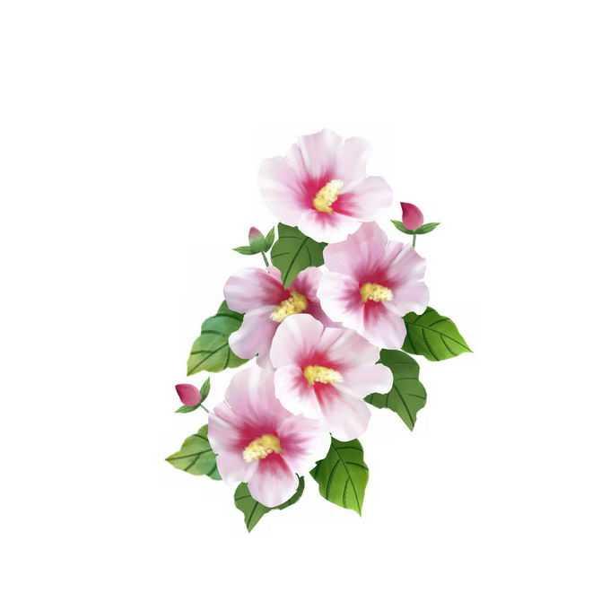 盛开的淡粉色木槿花鲜花花朵6350681矢量图片免抠素材免费下载
