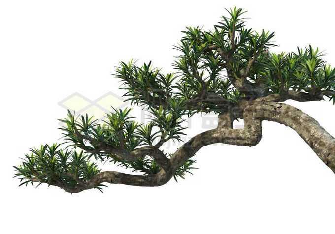 一根粗大的罗汉松树枝和树叶1126993PSD免抠图片素材