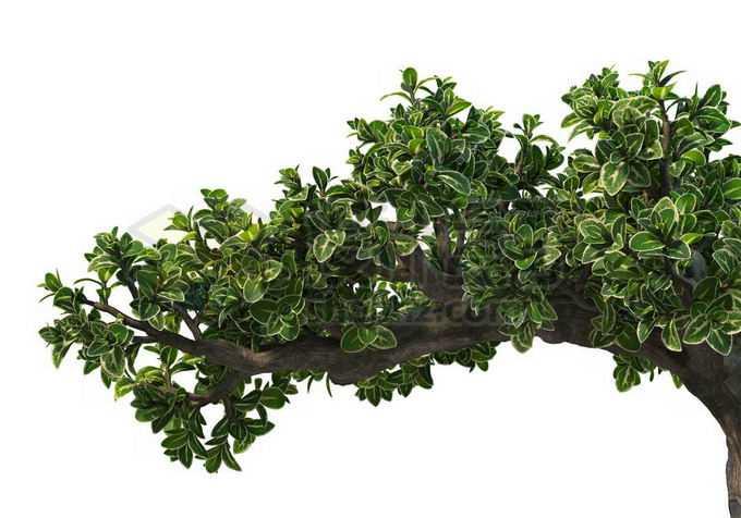 一根六月雪树枝和浓密的树叶7668613PSD免抠图片素材