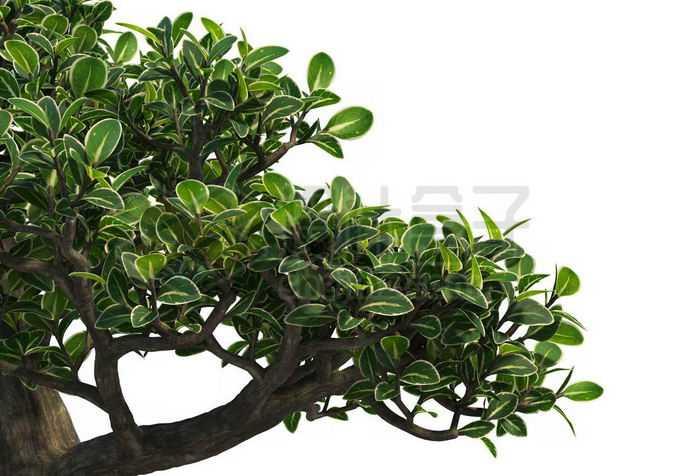一根粗壮的六月雪树枝和浓密的树叶1732092PSD免抠图片素材