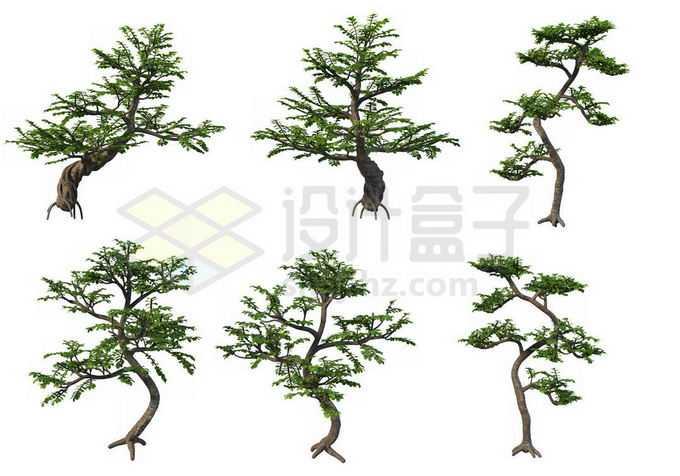 6棵六月雪松树盆景植物2263359PSD免抠图片素材