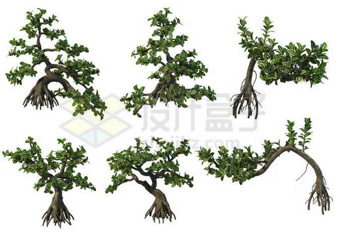 6棵六月雪松树盆景植物7546584PSD免抠图片素材