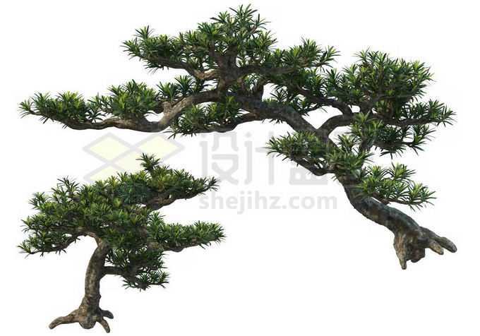 2株罗汉松大型盆栽植物观赏植物造景5346159PSD免抠图片素材
