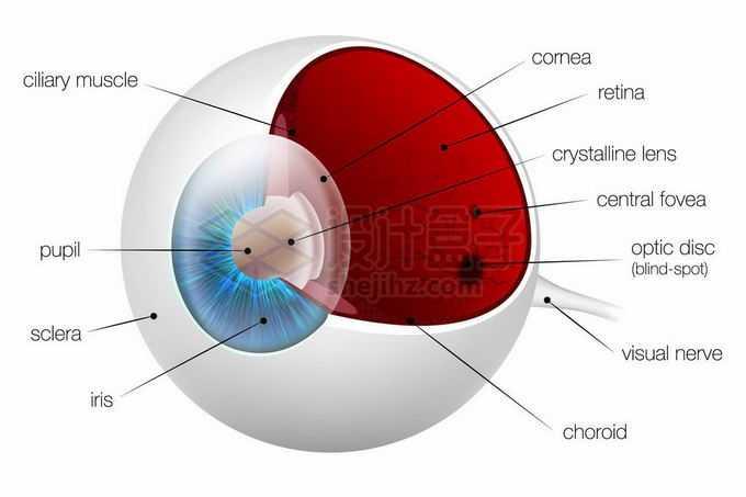 人类眼球的内部结构解剖图5279283矢量图片免抠素材免费下载