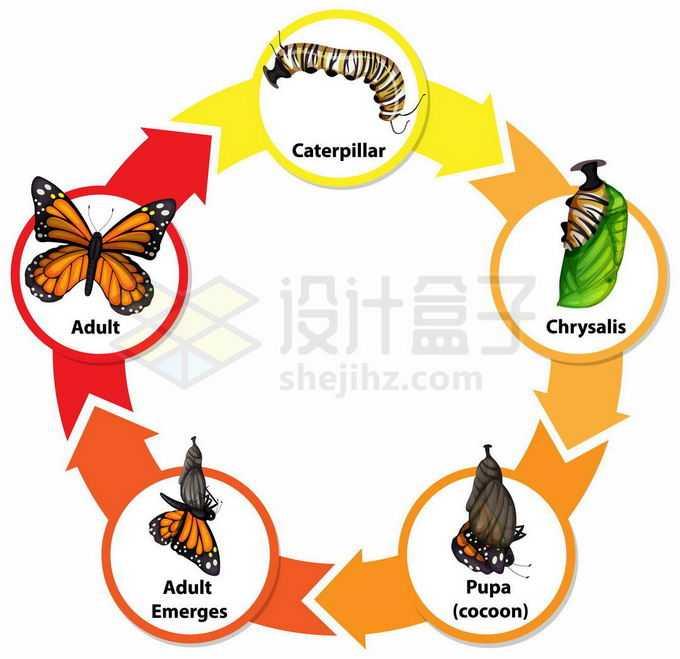 蝴蝶的生命周期:从毛毛虫到虫蛹到成虫生物课插画2285813矢量图片免抠素材免费下载